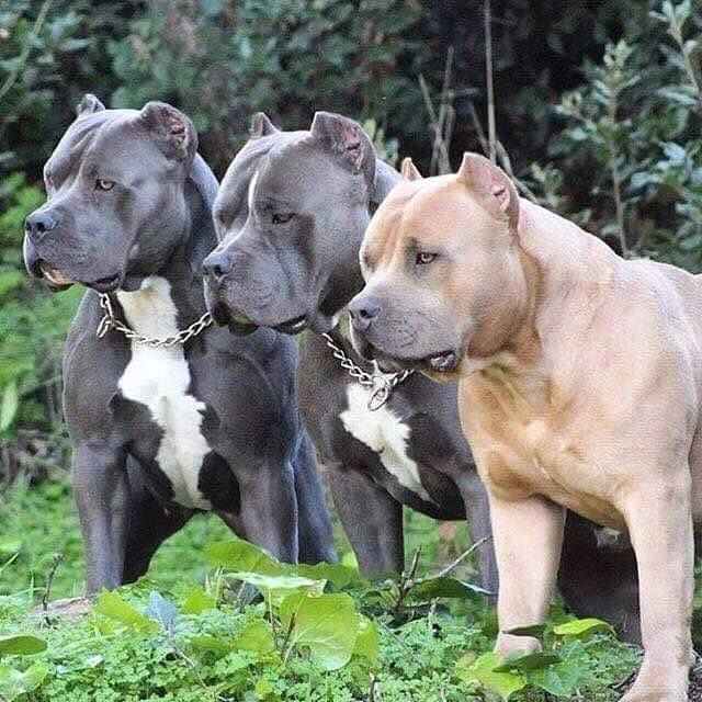 American Bully Gallery • AMERICAN BULLY DOG BREED INFO CENTER