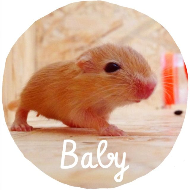 Newborn gerbils - photo#12