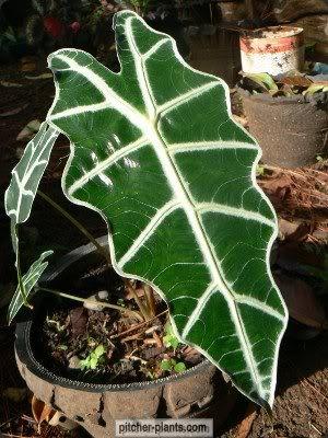 Aroids, Araceae