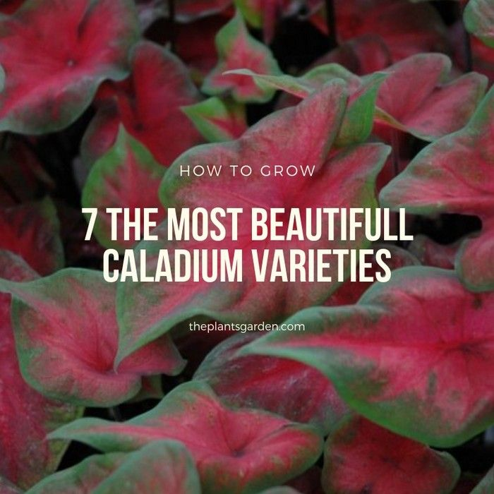 7 The Most Beautifull Caladium Varieties Caladium Caladium Garden Flower Beds