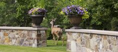 Deer Resistant Annuals, Perennials, Shrubs, & Trees via @timberlineinc