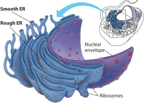 12 best Structure of Eukaryotic Cells images on Pinterest ...