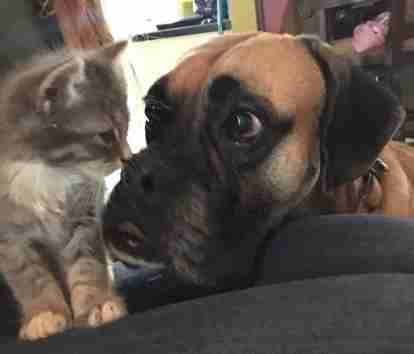 He'd never seen one before 😻. Lenox the Boxer loves his new rescued kitten.