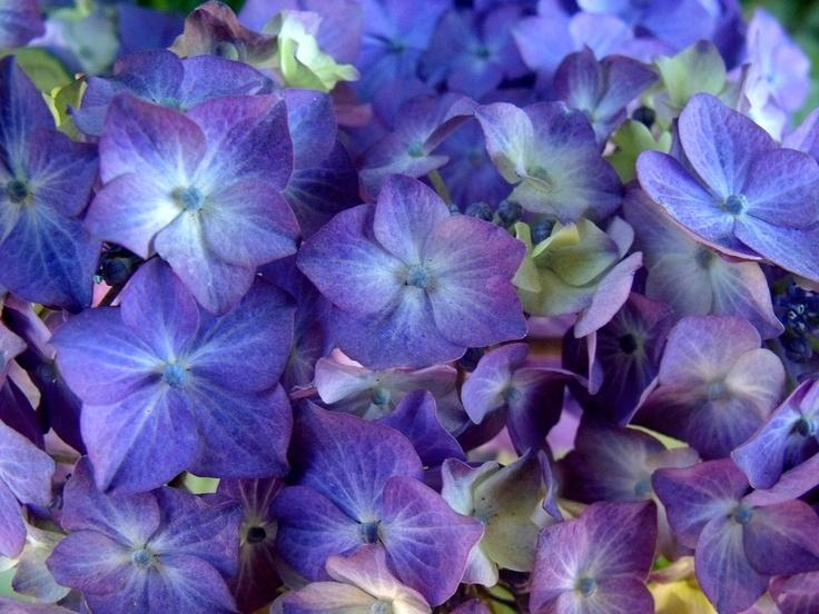 Hydrangeas #Photography