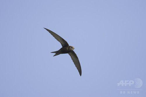 アマツバメ  10か月飛び続けるアマツバメ、鳥類の連続飛行記録を更新