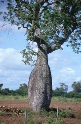 Australian Bottle Tree Picture - Bing Images