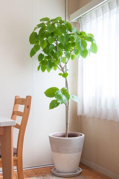 フィカス・ウンベラータ - 観葉植物(インテリアグリーン)通販、植え替え・メンテナンス | Regalo