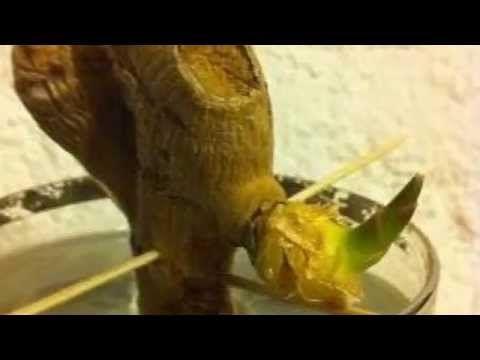 Faire pousser du gingembre dans un verre d'eau