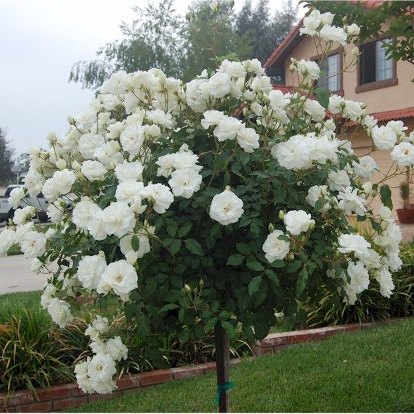 Iceberg Rose Tree - I have two of these planted in front flower bed on either side of window.