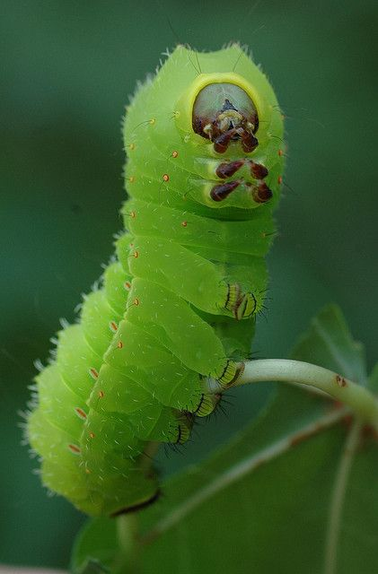 Green Caterpillar by Mi$ha