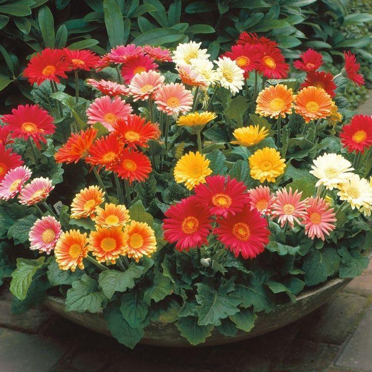 Image Result For Gerbera Daisy Color Chart Gerbera Gerbera Daisy Plant Seedlings