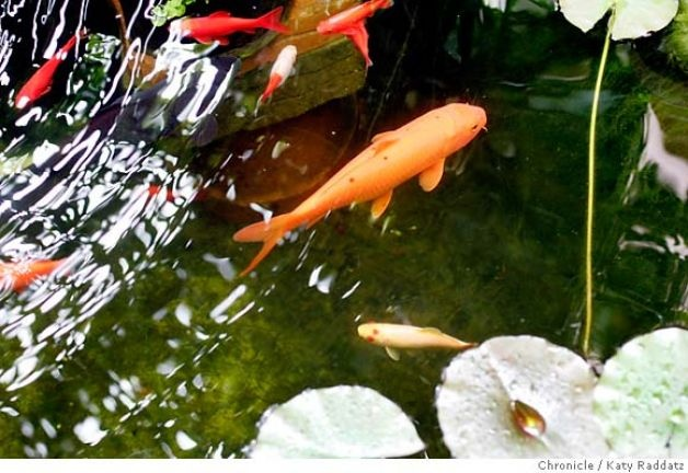 40 best images about koi fish delightfuls on pinterest for Koi pond bubble