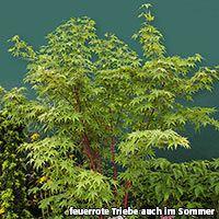 Japanischer Fächerahorn Sangokaku (Acer palmatum) - Laubgehölze von Gärtner Pötschke