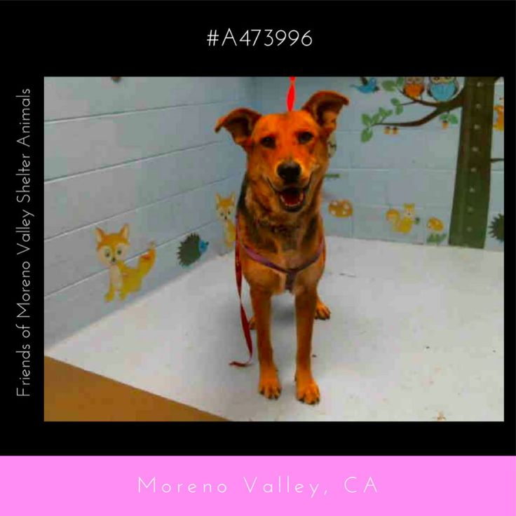 UPDATE: OWNER SURRENDERED OVER TO SHELTER  TEMP TEST: 07/25/17 16:46 Temp tested with 476016 good with people and with other dogs not good with children DH  AURORA #A473996 (Moreno Valley CA) Spayed female black and tan German Shepherd Dog mix. The shelter thinks I am about 8 months old NEW INTAKE INFO:  I have been at the shelter since Jul 25 2017 and I am available now! PRIOR INTAKE INFO: I have been at the shelter since Jul 24 2017 and I may be available for adoption on Aug 08 2017 at…