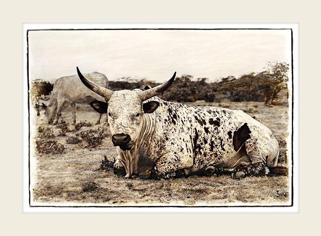 Nguni cattle - Nguni Bull - Marlene Neumann Fine Art Photography  www.marleneneumann.com  neumann@worldonline.co.za