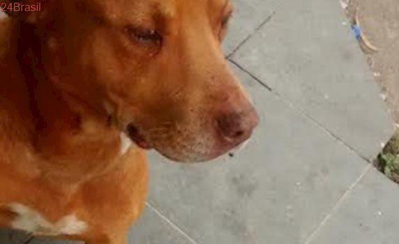 Pit bull maltratado precisa de abrigo no Jardim Santa Barbara, em SP