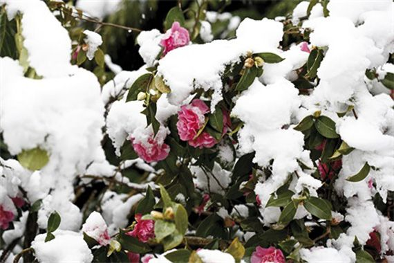 Winter Plants | Fall and Winter Gardening Ideas | HouseLogic - camellia (japonica)