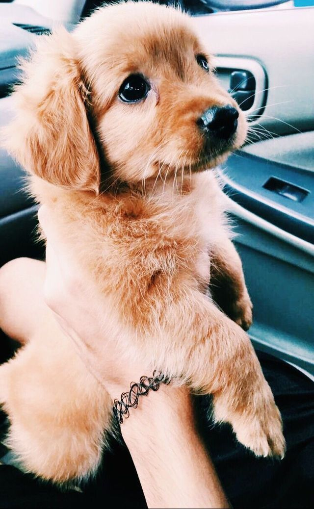 Puppy Dogs Cute Animals Adorable Gold Cute Dogs And Puppies