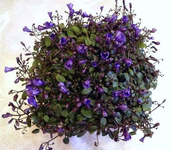 Teeny Bopper (L.Lyon) 08/27/1982 (5017) Single purple. Pointed, tiny. Miniature trailer.  Простые темно-синие колокольчики. Простая, крошечная листва. Миниатюрный трейлер.  Photo by Любовь_X