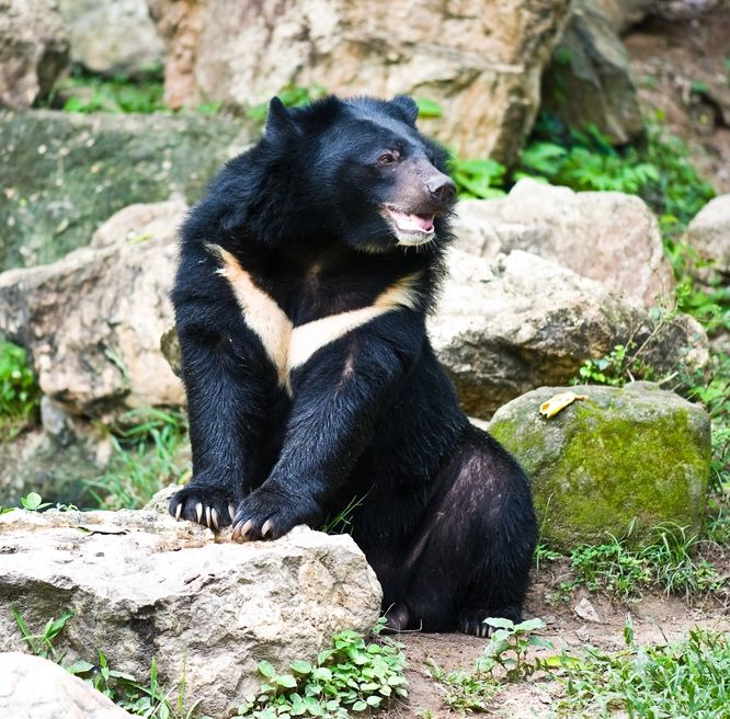 Asiatic black bear, or moon bear.
