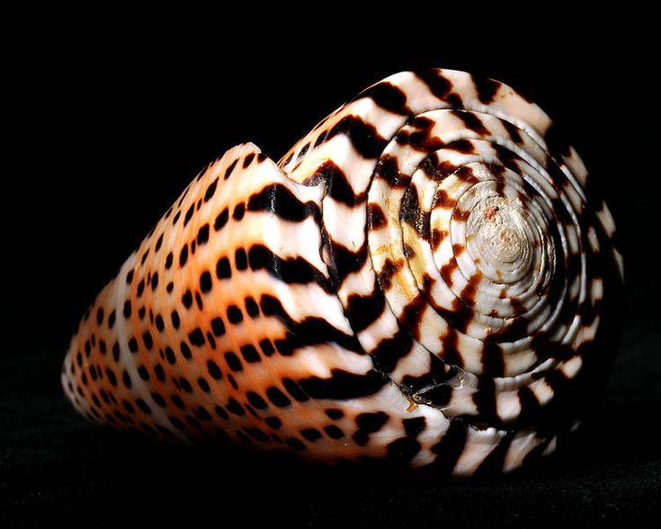 This sea snail with intricately beautiful markings is a sophisticated predatory species of cone snail .   The letter cone ( conus litteratus ) is cone species that can be found in the Indo-Pacific region .
