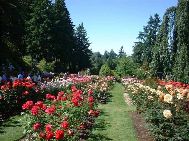Rose Garden in Portland, Oregon (The City of Roses)