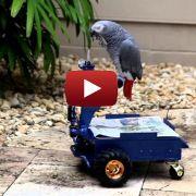 Un perroquet apprend à conduire une voiturette électrique: voyez la vidéo
