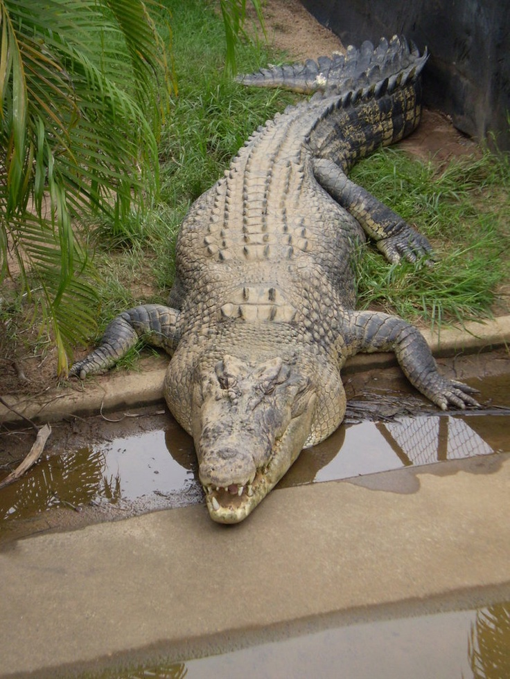CROCODILE -  Coloration: Olive green/brown; Snout: Longer V-shaped snout; Aggressiveness: More aggressive; Prefer Water: Brackish/saltwater; Habitat: Africa, Australia, and America Length of adult: 5.8 meters;  Nesting: lay their eggs in mud or sand;  Presence of dermal pressure receptors:over most of the body; Teeth of the lower jaw: visible (teeth of lower jaw can be seen when jaw is closed).
