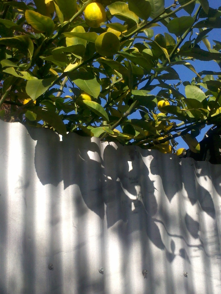 Love this pic because it is so Aussie, a lemon tree and a corrugated fence