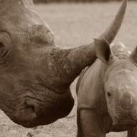 Help us directly target primary users of rhino horn products - donate to Breaking the Brand @ Indiegogo! Feb 2 - March 23 2014 http://www.indiegogo.com/projects/breaking-the-brand-of-rhino-horn-use-in-viet-nam