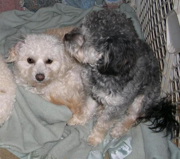 Maltese Mix & Poodle • Young • Female • Small PJ's Small Dog Rescue Isleton, CA