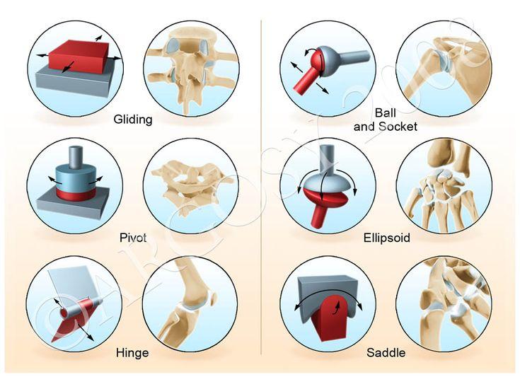 우리 인체내에 윤활관절(synovial joint) 또는 가동관절