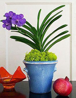 Vanda Prchids | ... cut orchids potted orchids view all orchids view pink vanda mokara