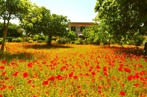 Campos de flores de #Mallorca. Remanso de paz y tranquilidad en este intercambio de casa mallorquín.