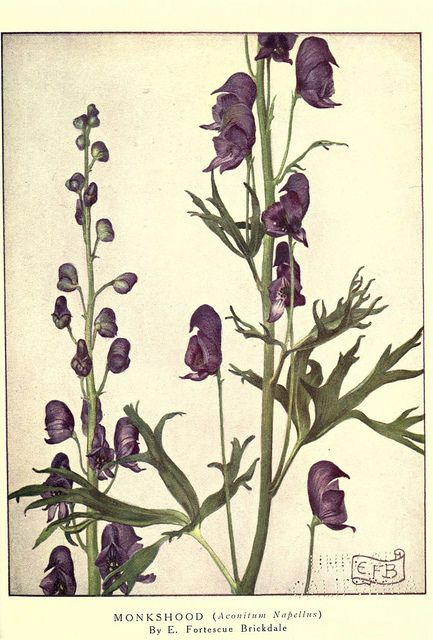 monkshood Wolves bane  Every part is poisonous Means: beware; a deadly foe is near