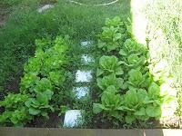 Vita Frugale: Piante dell'orto che crescono all'ombra