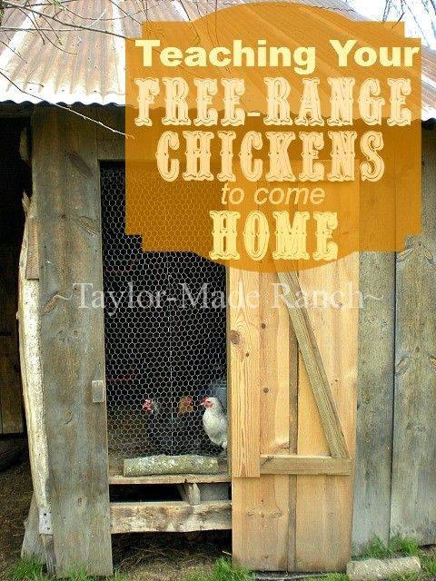 How do you get your new chickens to free range during the day yet come back to the coop each night to be locked securely from predators? Read On! #TaylorMadeRanch: