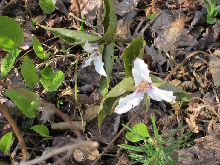 Trille ondulé, Trillium undulatum