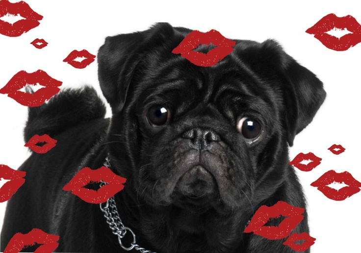 Pug valentine pugs and kisses cute pugs black pug puppies, puppy love coloring pages