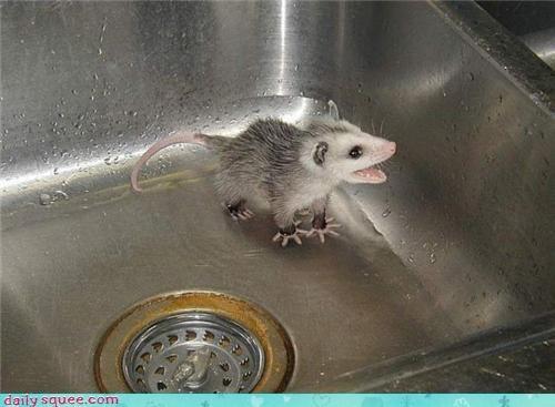 33 Best Possums Images On Pinterest Opossum Animal
