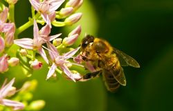 """""""Bee-friendly"""" plants could be bee killers"""