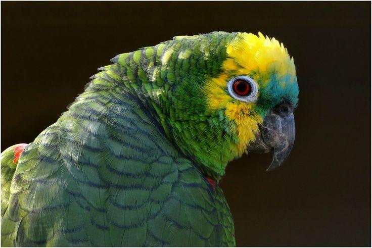Blaustirnamazone (Zoo Neuwied) von Mohr Wilfried
