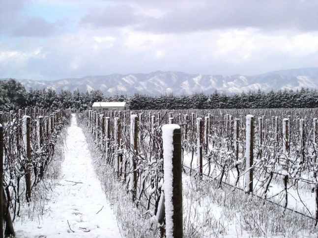 Palliser vineyard, Martinborough, New Zealand on snowy winters day