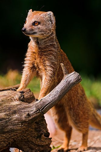 Mongoose  -   Walter Zoo, Gossau, Switzerland