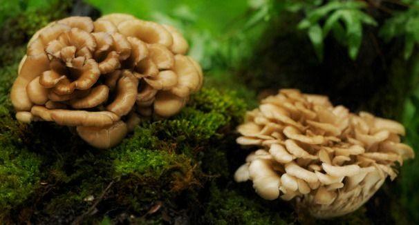 Maitake, il fungo danzante contro le malattie