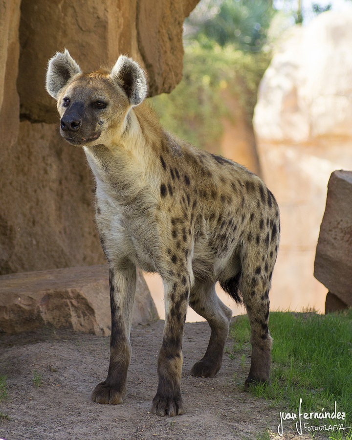 Spotted Hyena,, man they freak me out. don't like them. hahaha