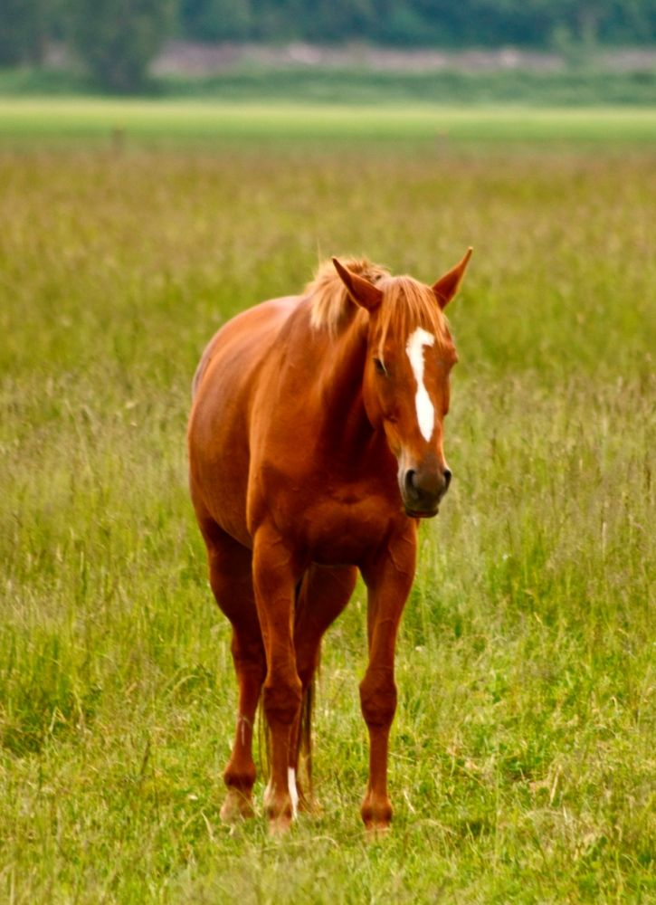 1000+ images about Chestnut Horses on Pinterest - photo#11