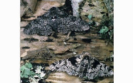 The Peppered moth, which changed its colour from white to black in areas of   Britain with heavy pollution, is now reverting to its original appearance.