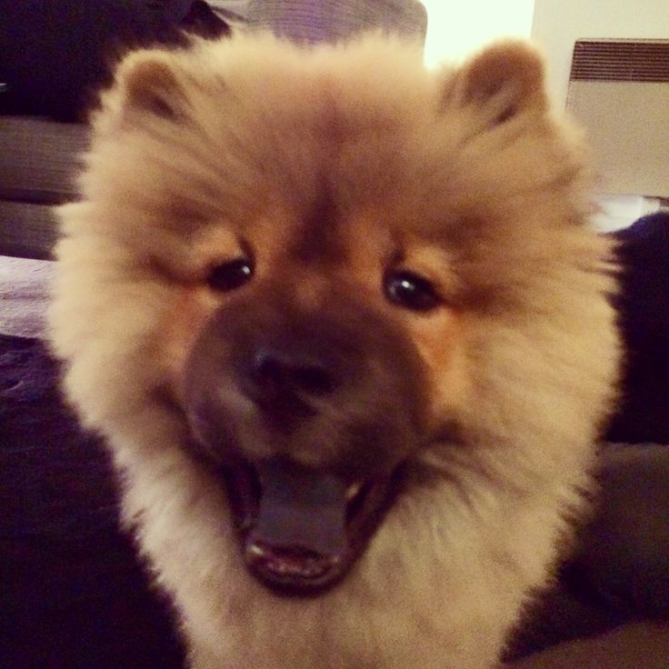 Happy chow-chow 3 months old