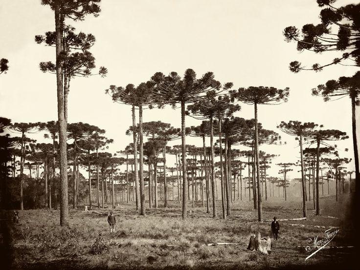Marc Ferrez, Araucárias, Paraná, ca. 1884: Ferrez Brazilian, 1884 Araucária, Ferrez 1884, Gilberto Ferrez, Marc Ferrez, Ferrez Collection, Posts, 1884 Blog, 1884 Prints